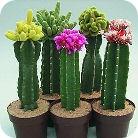 cactus4-2-2